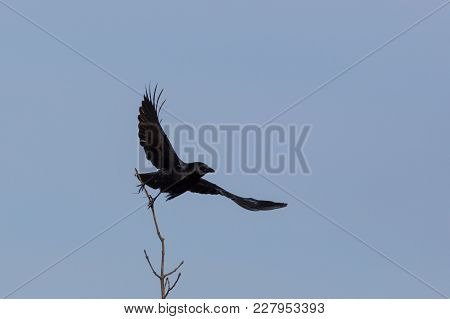 Natural Carrion Crow (corvus Corone) Taking Off From Branch, Blue Sky, Spread Wings