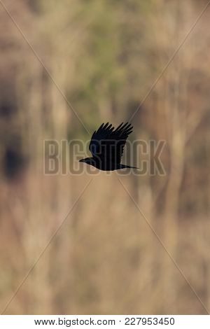 Silhouette Of Natural Raven Corvus Crow In Flight With Trees In Background