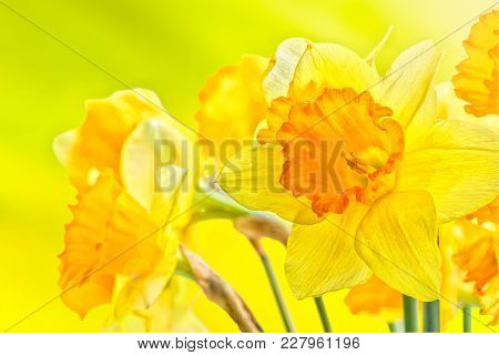 Bouquet Of Yellow Spring Daffodils Backlit On A Sunny Background, Close Up. Selective Focus