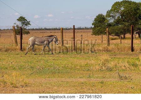 Plains Zebra (equus Quagga)