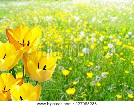 Detail Of Yellow Tulips In The Meadow