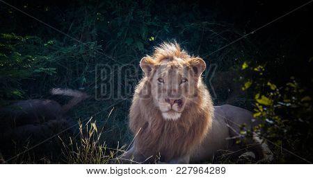 An Adult Male Lion Sittting In Bush