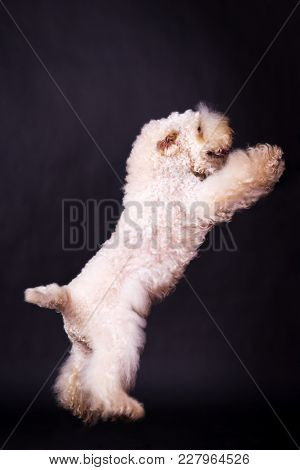 One Irish Soft Coated Wheaten Terrier Dancing And Looking Up On Black Background At Studio
