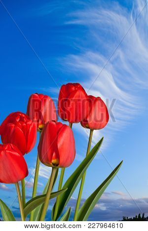 Detail Of Red Tulips With The Blue Sky
