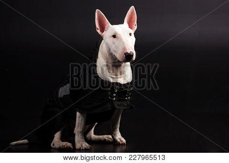 White Bullterrier Looks Forward On Black Background At Studio
