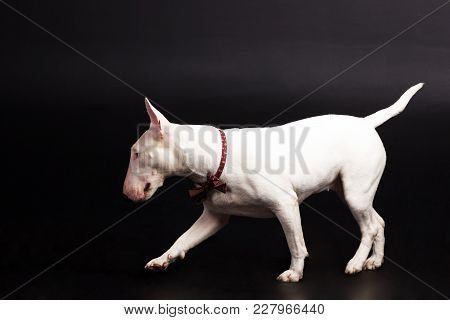 White Bullterrier With Bow Tie Looks Aside Copy Space On Black Background At Studio