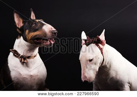 Black And Tan With White And White Bullterrier With Bow Ties Looks Aside And Smiles On Black Backgro