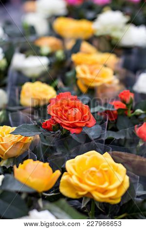 Rose In The Flowerpot. Growing Roses. Greenhouse With Roses, Shop For The Sale Of Seedlings Of Roses
