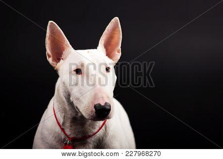 White Bullterrier Looks Aside Copy Space On Black Background At Studio