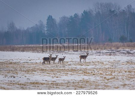 Herd Of Roe Deers In Podlasie Region Of Poland