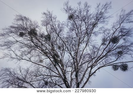 Mistletoes On A Birch Tree In Podlasie Region Of Poland