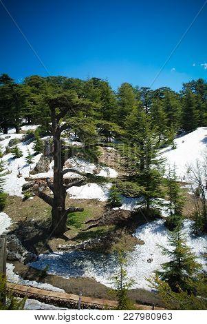 Lebanese Cedars At The Arz Ar-rabb Mountain Aka Cedars Of God, Kadisha Valley, Lebanon