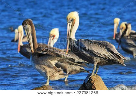 Brown Pelican, Pelecanus Occidentalis, Sea Of Cortez, Baja California Mexico