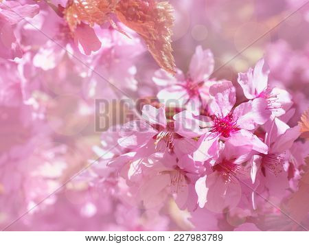 Beautiful Branch Of Blossoming Pink Cherry In Spring On Floral Background, Sakura Flowers In Sunligh