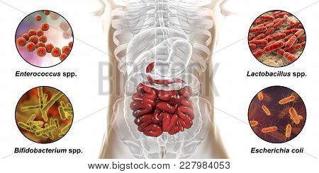 Intestinal Microbiome, Bacteria Colonizing Different Parts Of Digestive System, Enterococcus, Lactob