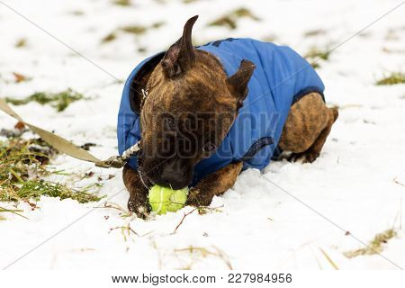 American Staffordshire Terrier In Blue Blanket Plays With A Ball At Winter Park