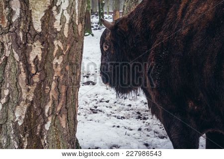 Zubron - Hybrid Of Cattle And Wisent In Show Reserve Of Bialowieza Forest National Park In Poland