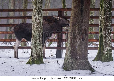 Elk Licking Fence In Show Reserve Of Bialowieza Forest National Park In Poland