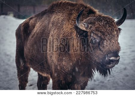 Portrait Of European Bison On The Snow In Bialowieza Forest National Park In Poland