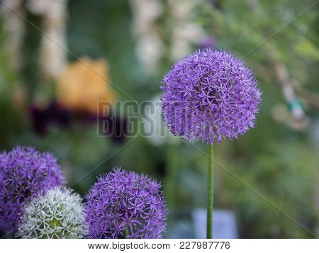 Close-up Of Allium Purple Sensation Flower, Ornamental Onion.
