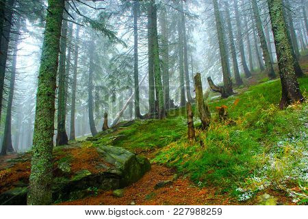 Dense Green Forest With Fir Trees After The First Snow In The Year. Gloomy Fir Forest. Forest Landsc