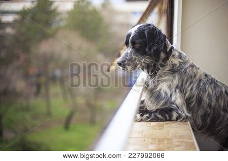 Gorgeous Dog, An English Setter, Eager To See His Dog Lover, Looking Over Balcony To The Yard