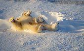 1979 Polar Bear Rolling In Fresh Snow