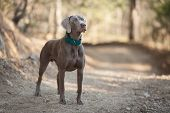 beautiful Weimaraner hunting dog stands on the road poster