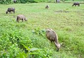 Buffaloes eating grass in the field In Thailand poster