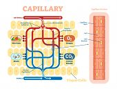 Capillary schematic, anatomical vector illustration diagram with blood flow. Educational information poster. poster
