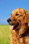 orange golden retriever dog portrait outdoors on green meadow over blue sky poster