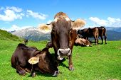 herd of cows on the Dolomites-Italy poster