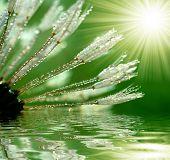 dewy dandelion poster