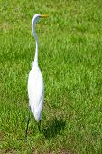 A great white egret is standing in a field and looking right poster