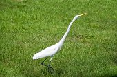 A great white egret is walking in a field and looking right with neck stretched out. poster