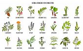 Collection of natural herbs for congestion. Hand drawn botanical vector set of medicinal plants poster