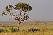 Black Rhinoceros under a euphorbia tree Masai Mara Natural Reserve Kenya Africa poster