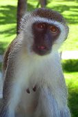 A vervet monkey also known as the green monkey with an innocent look. poster