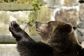 Brown bear in zoo speaks good-bye. Kaliningrad Russia. poster