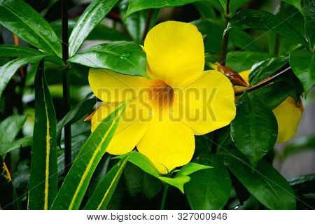 Close Up Of Sundaville Mandevilla Zolta Bloombells Yellow, Plants With Yellow Flowers And Green Leav