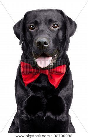 Black Labrador In The Bow Tie