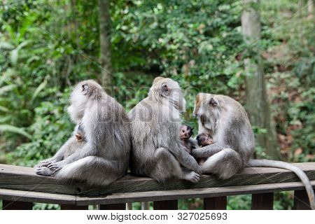 Monkey Family. Monkey Mothers And Their Cubs Sit Together. Monkey Family At Sacred Monkey Forest Ubu