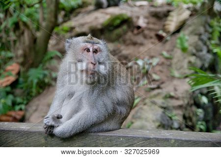 Monkey Sitting In The Forest Of Monkeys.close Up. Portrait Of A Monkey. Monkey Forest On The Island
