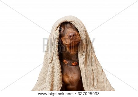 Dachshund Puppy Cozy Under Her Knitted Blanket. Dog Care Concept