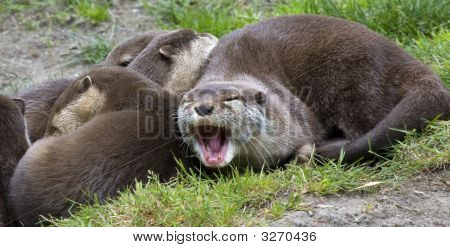 Asian Small Clawed Otter Yawning Relaxing With Family