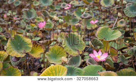 Swamp With Blooming Lotuses. Lotus Pond, Bali, Indonesia. Lotus And Lilly . Young Water Lotus In The