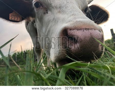 Close up of, The Montbeliarde cow is a breed of red pied dairy cattle, standing in field in Doubs, Bourgogne, Franche-Comte region of eastern France, Europe