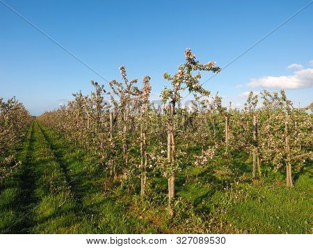 Plantation In Germanys Largest Fruit Growing Area Near Hamburg Called Altes Land