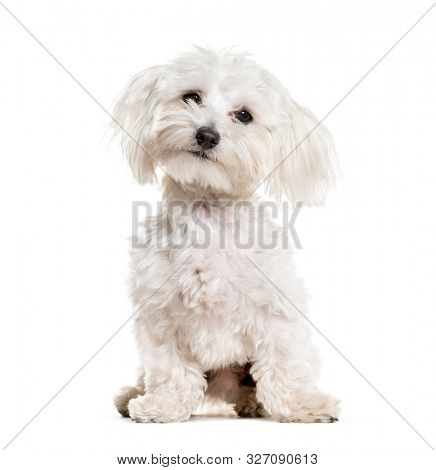 Maltese sitting against white background