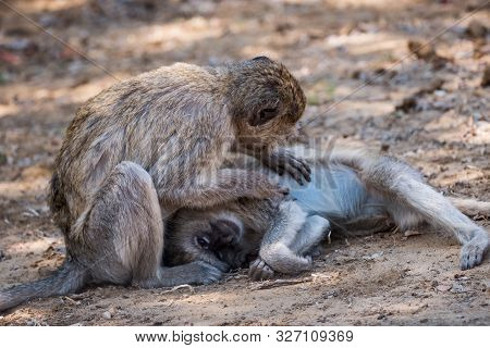 Two Vervet Monkey Delousing And Grooming Their Fur In Bwabwata National Park, Mahango Core Area, Nam